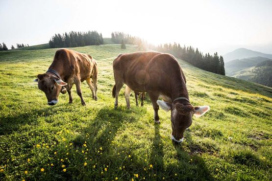 Cows on the pastureland